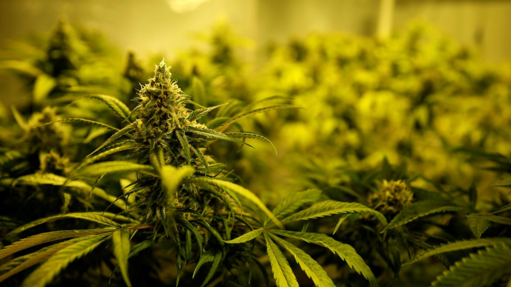 cannabispotent