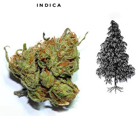 Indica benefits