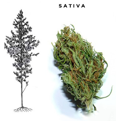 sativa benefits