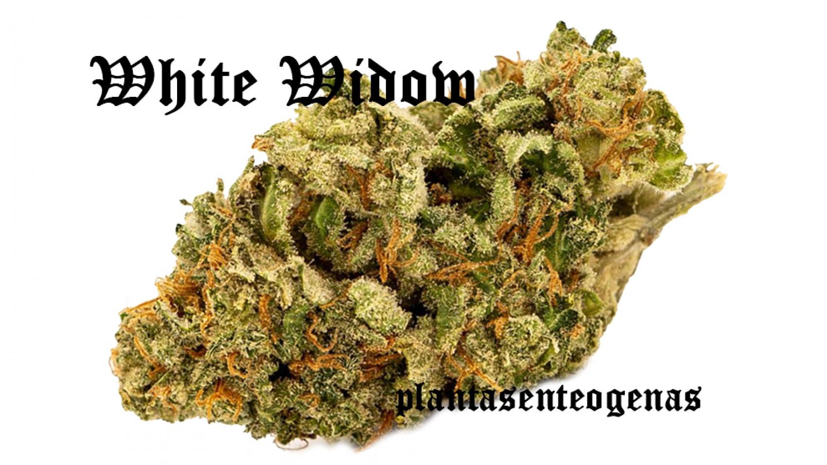 white-widow-2