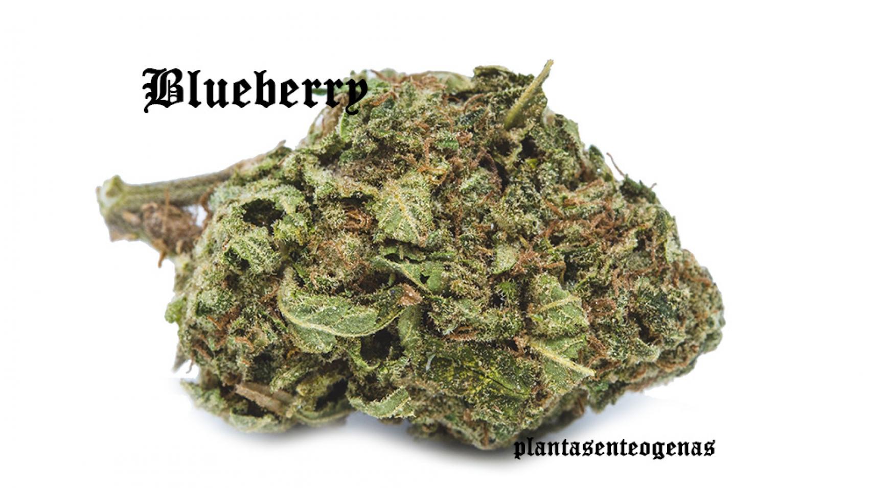 Blueberry-08