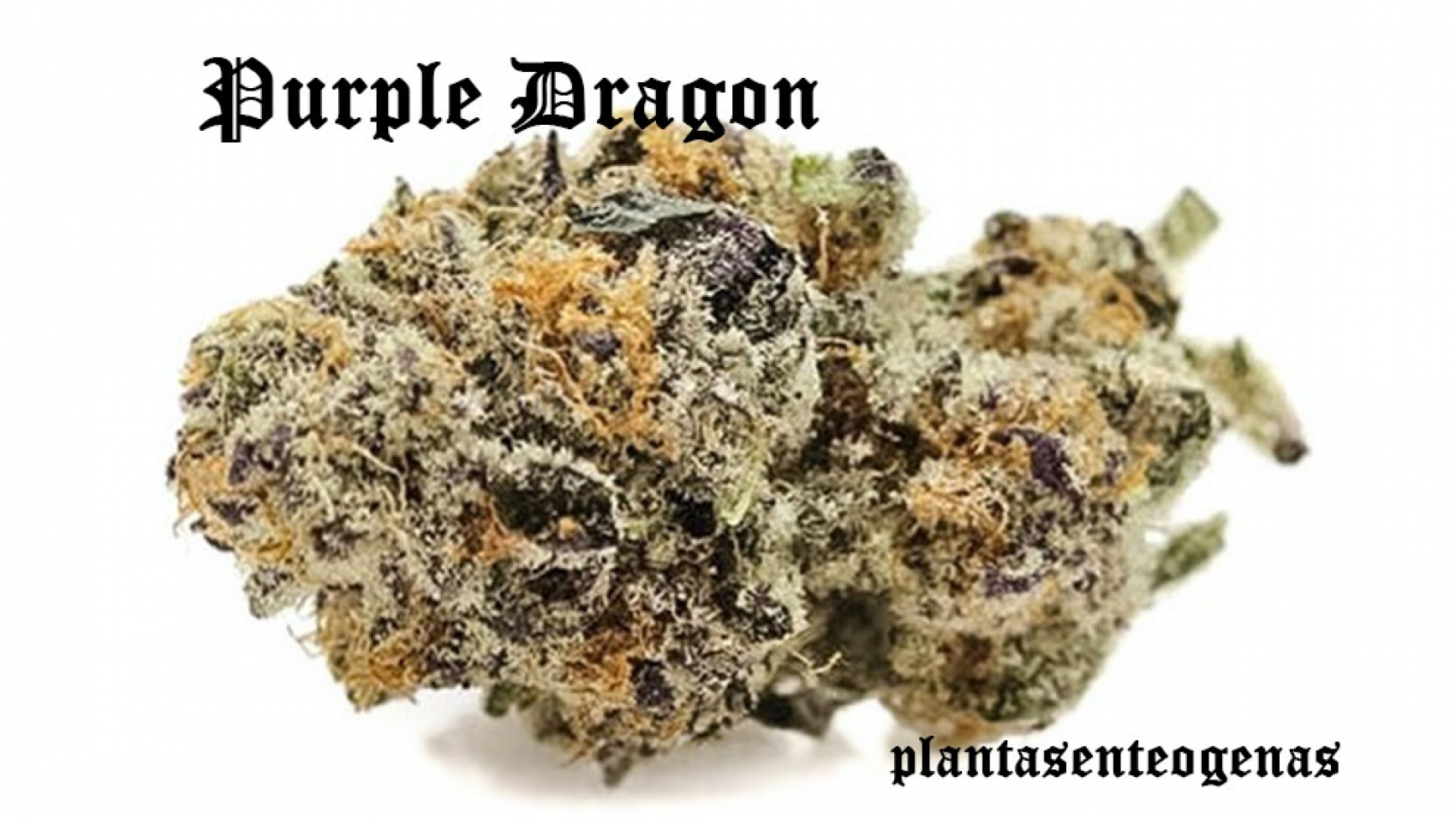 Purple-Dragon-04