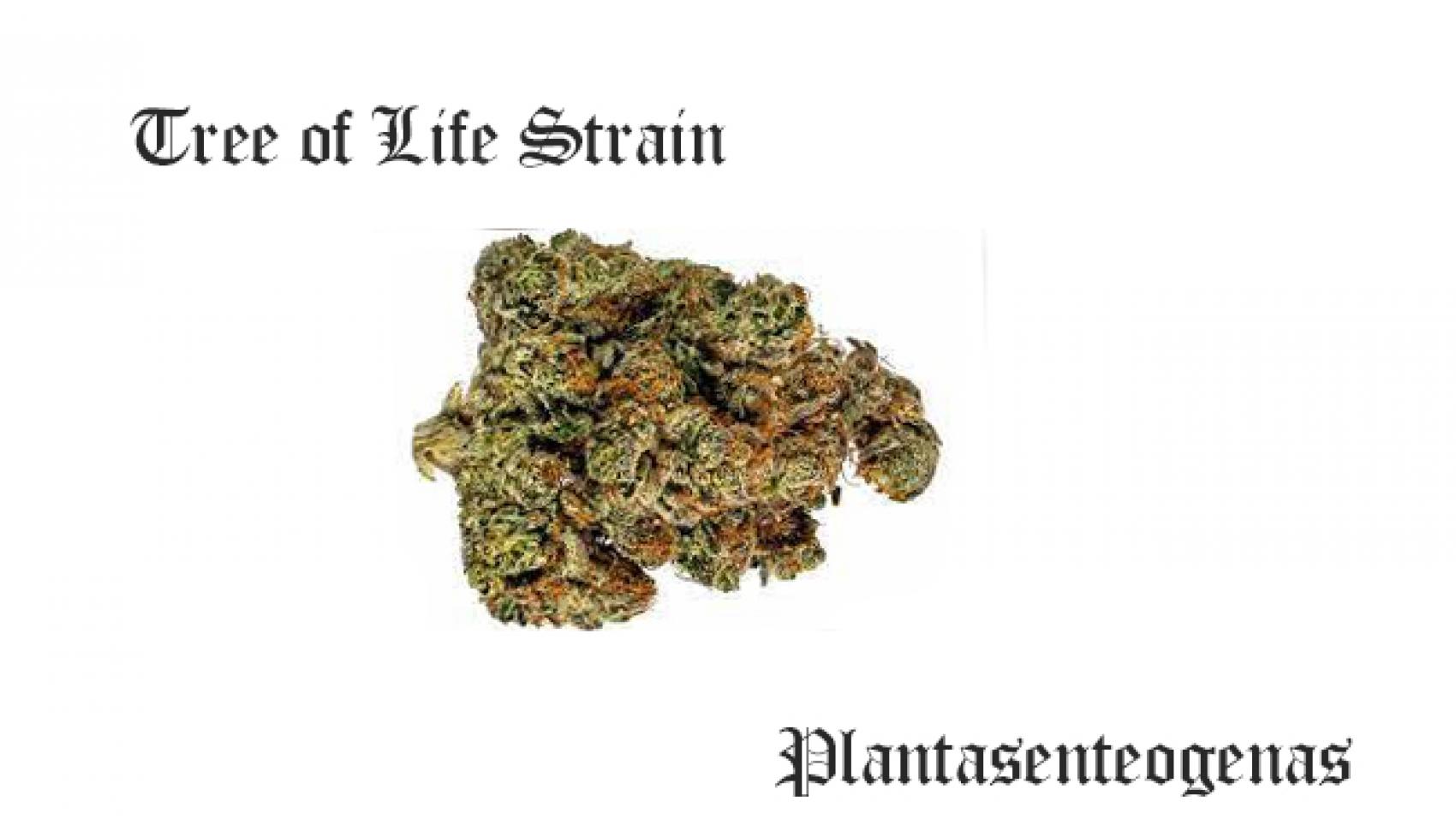Tree of Life Strain