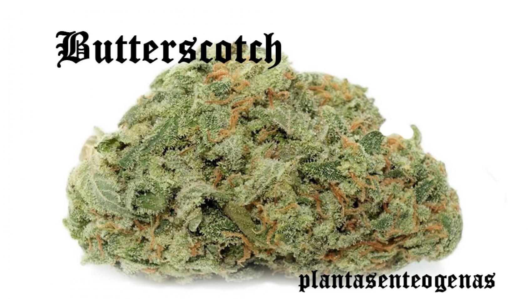 butterscotch-003
