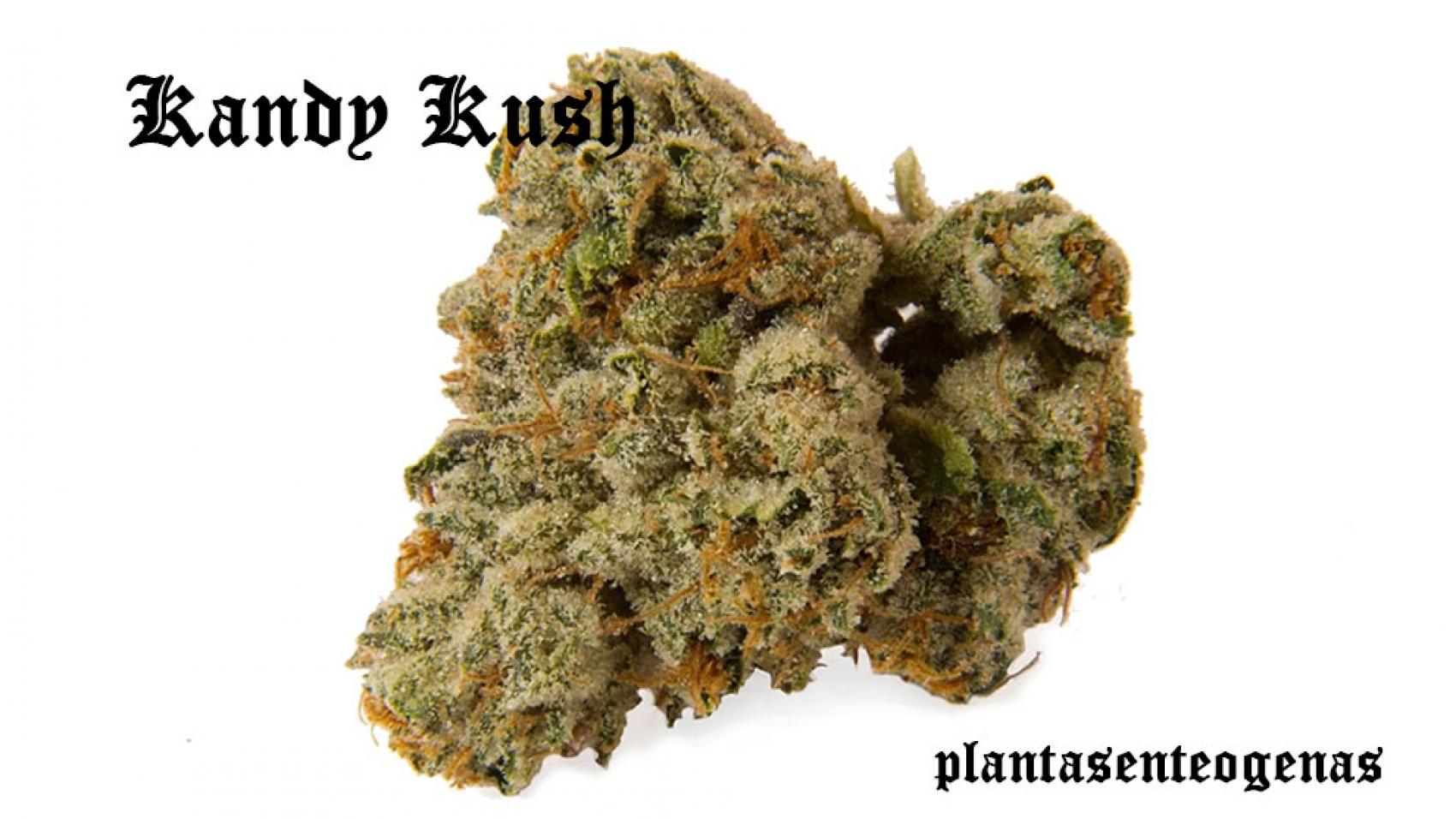 kandy-kush-03