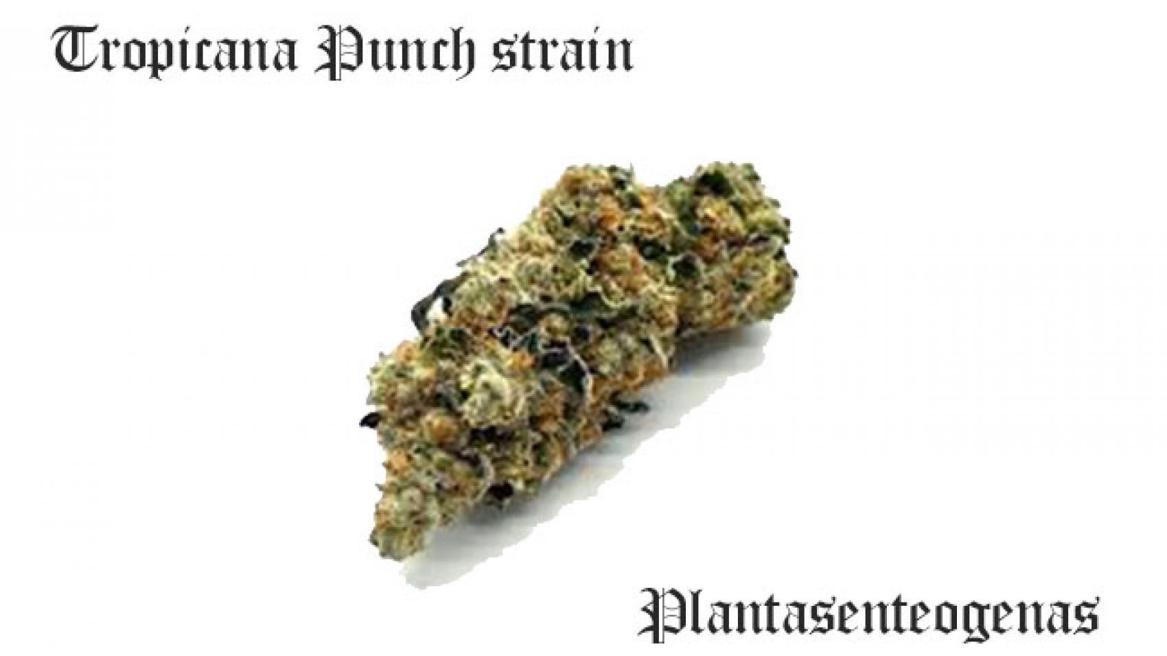 Tropicana Punch strain